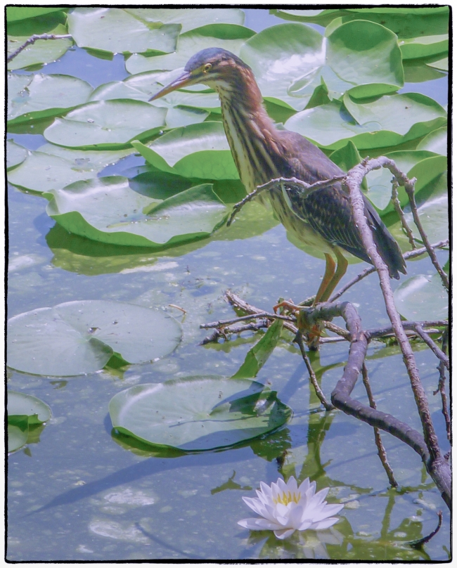 greenheron-