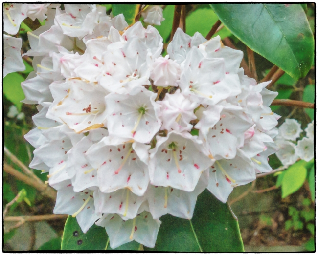 rhododendron-