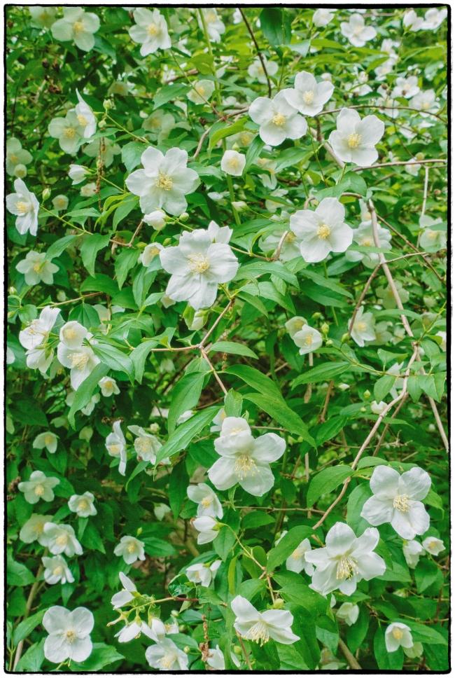 whiteflowers-