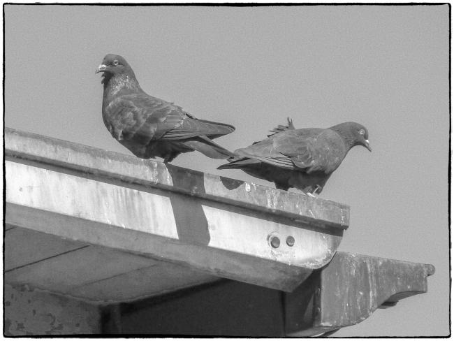 pairofpigeons-1