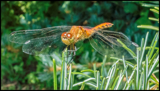 dragonfly-1-of-1