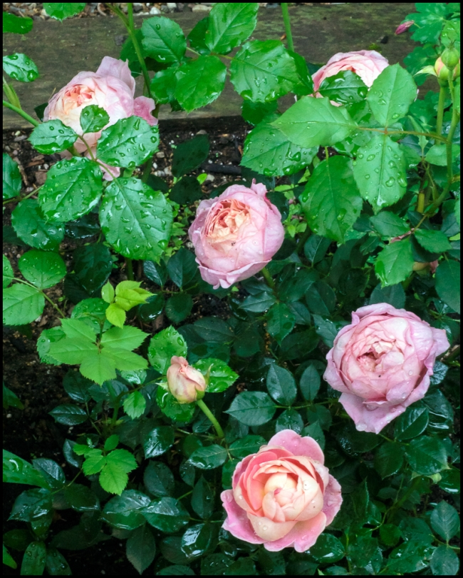 roses-1-of-3