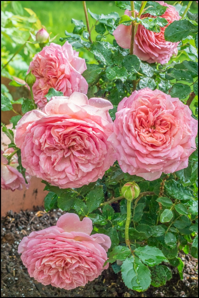 roses-2-of-3