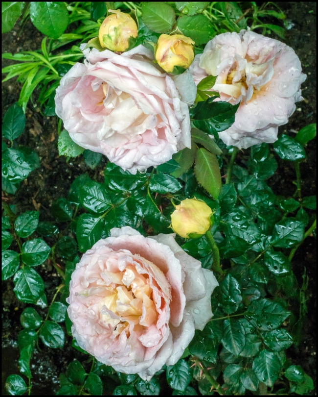 roses-3-of-3