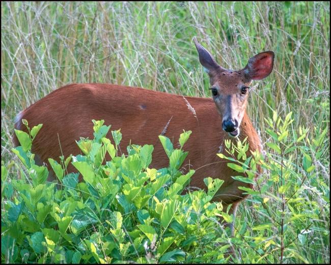 deer1-1