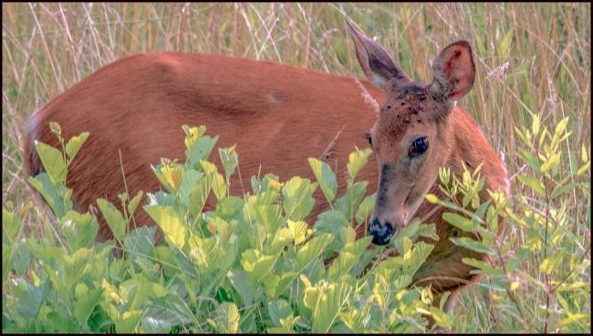 deer1-2