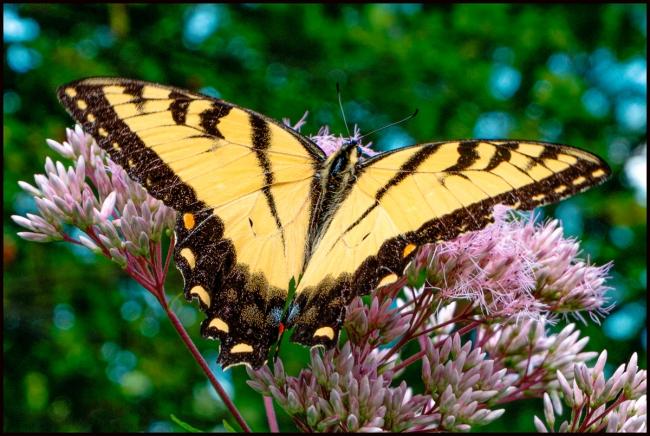 easternswallowtail-1