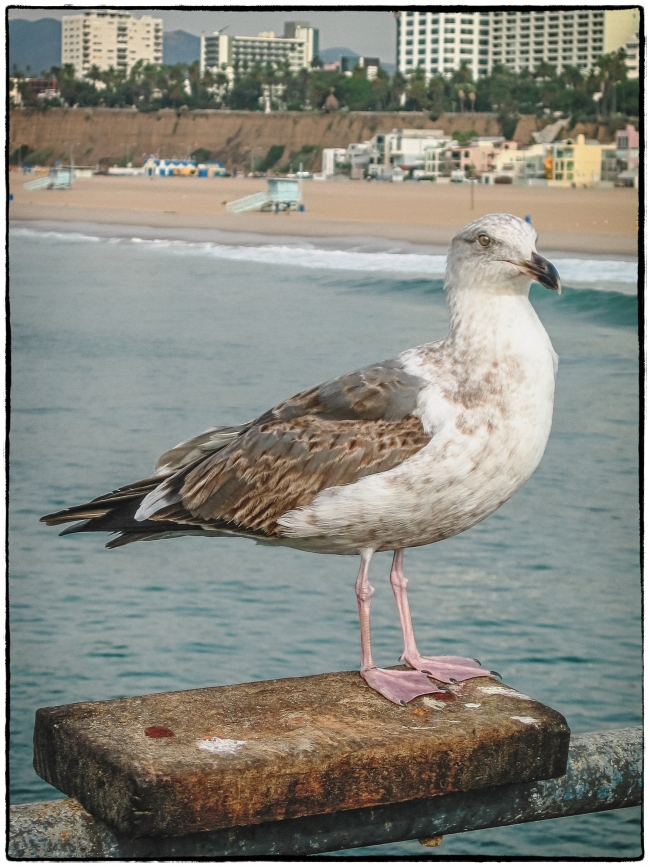 californiagulls-1