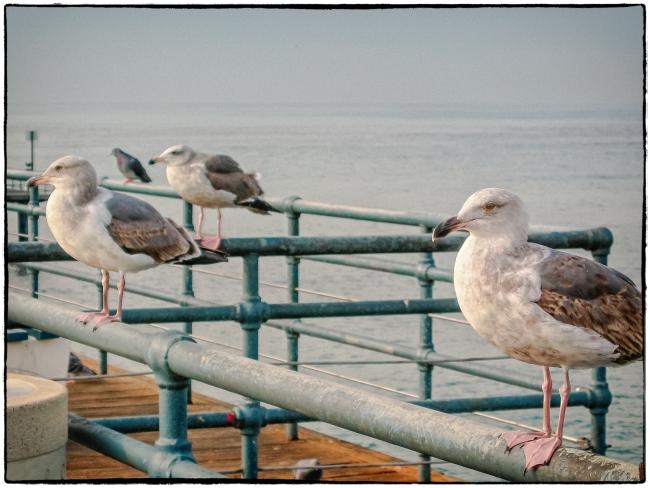 californiagulls-2