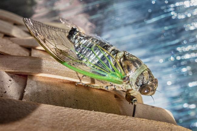 cicada-2