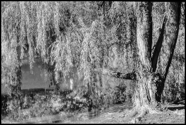 WeepingWillow-1