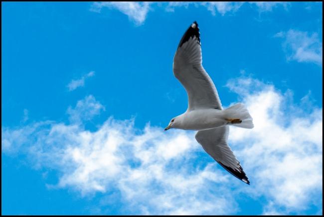 seagullinflight-1