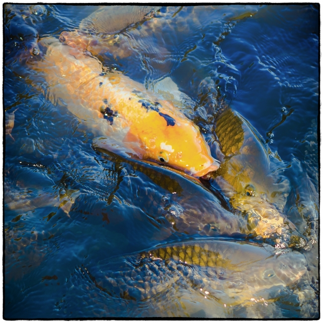 feedingfish-1