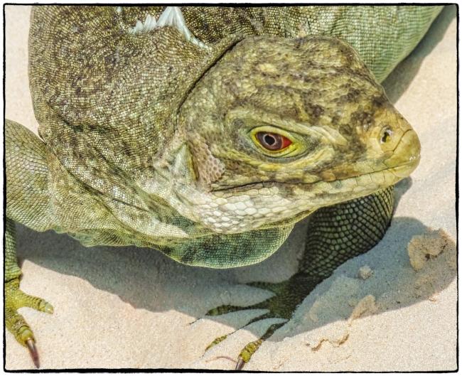 iguanas-1