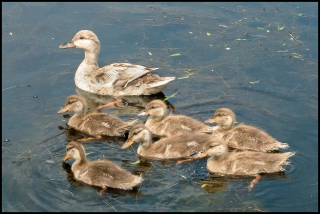 downingparkducklings-1