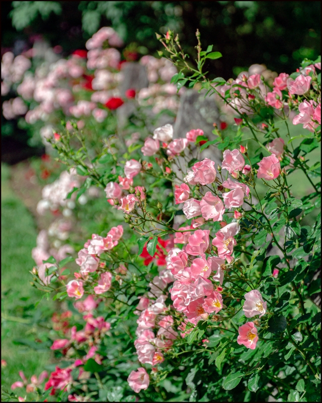 rosesonfence-1
