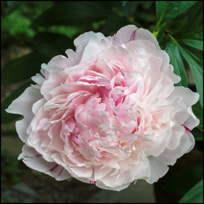 flowersinourgardenpeonies-1-of-2