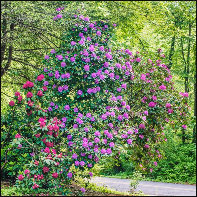 flowersinourgardenrhododendron-1-of-3