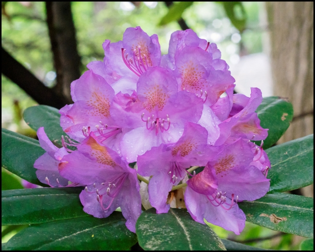 flowersinourgardenrhododendron-3-of-3