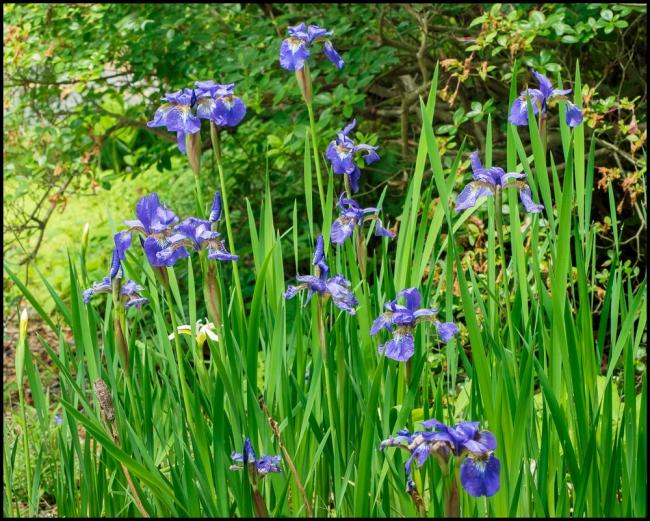 flowersinourgardensiberianiris-2-of-2