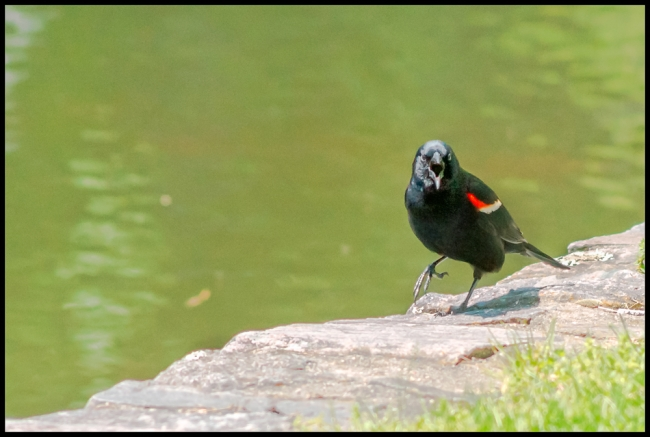 redwingedblackbird-7-of-1