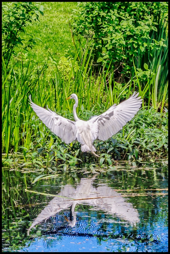 reflection-egret-3-of-1