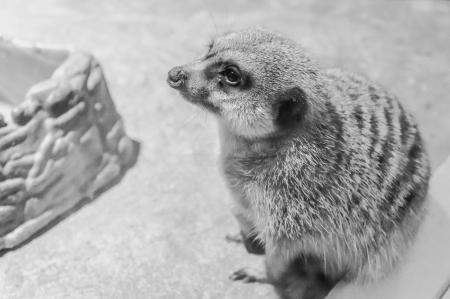 meerkats-3