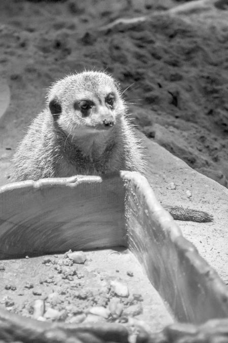 meerkats-4