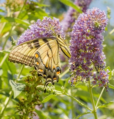 monarchbutterflies-2
