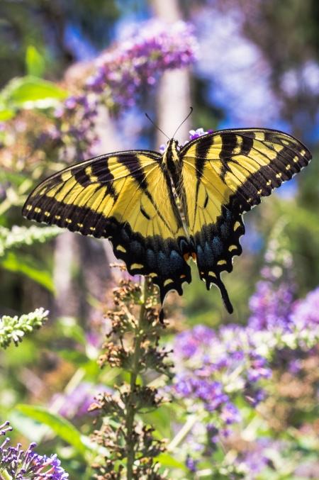 monarchbutterflies-3