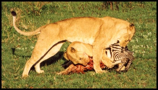 lionsfeedin-1