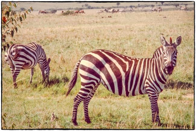 zebra-7