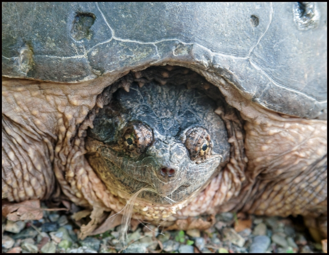 snappingturtle-1-of-2