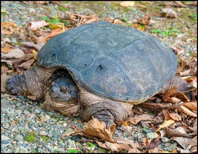 snappingturtle-2-of-2