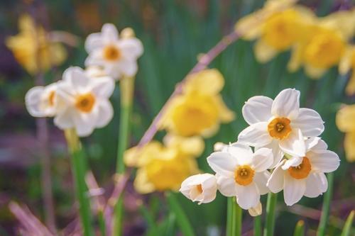 springflowers-4