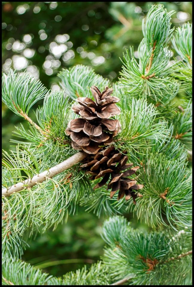 pinecone-1