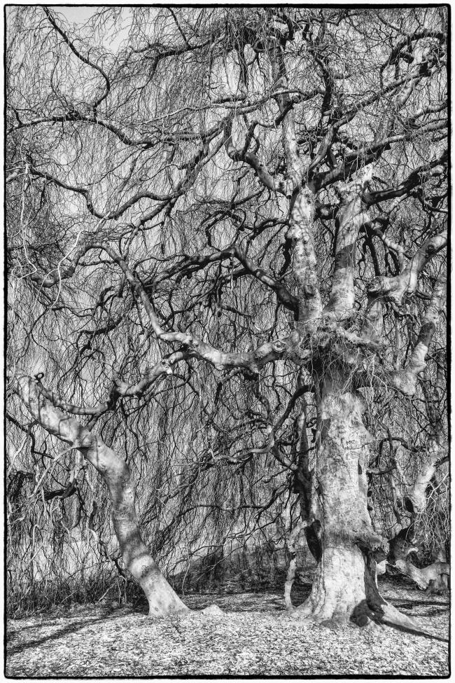 oldtree-1