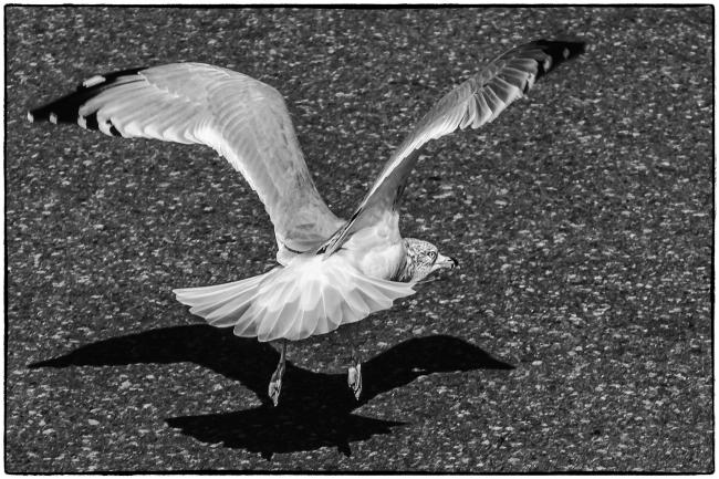 seagulllanding-1
