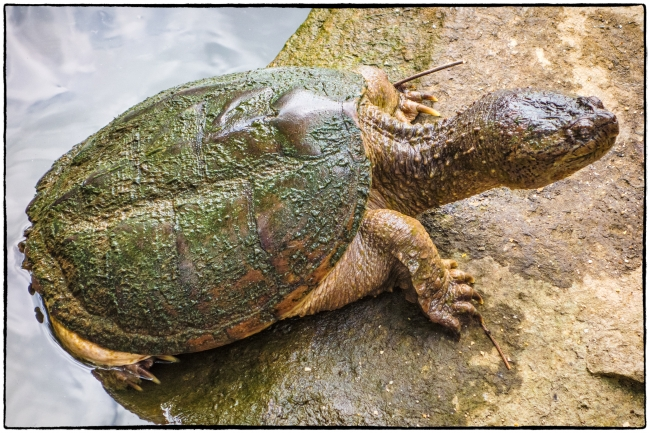 snappingturtle-3
