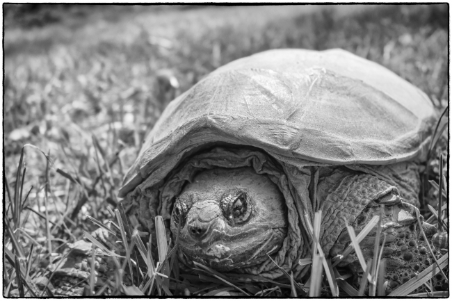 snappingturtle-1