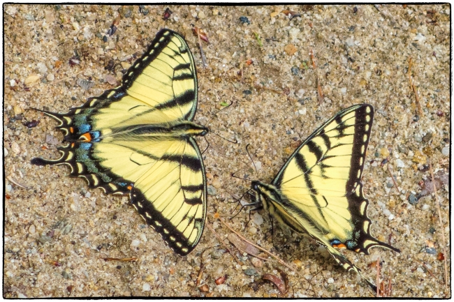 swallowtails-1
