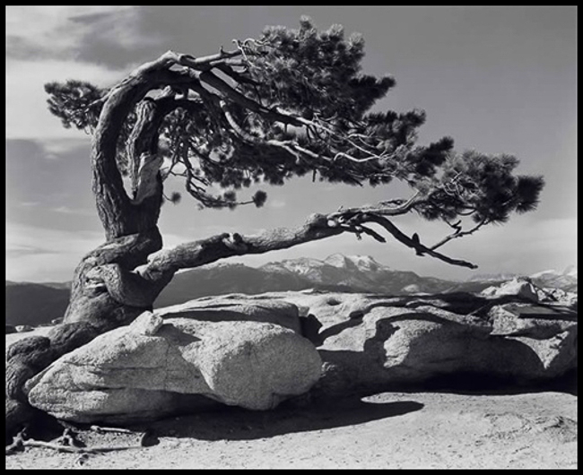 Jeffrey Pine.  Source: Ansel Adams Galleries